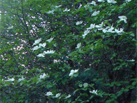 WATERSHED DOGWOOD on buckeye creek
