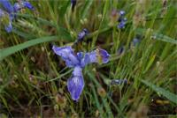 DOUGLAS IRIS Iris Douglasiana